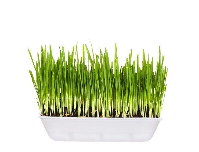 Tarwegras kweken: een koud kunstje